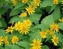 melampodium (Melampodium paludosum)