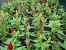 nevadlec (Celosia plumosa)