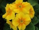petrklíč (Primula x polyantha ´You And Me´) žlutý