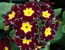 petrklíč (Primula x polyantha ´You And Me´) bordó