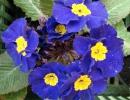 petrklíč (Primula x polyantha ´You And Me´) modrý