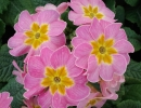 petrklíč (Primula x polyantha ´You And Me´) růžový
