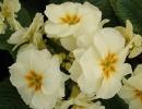 petrklíč (Primula x polyantha ´You And Me´) sv.žlutý