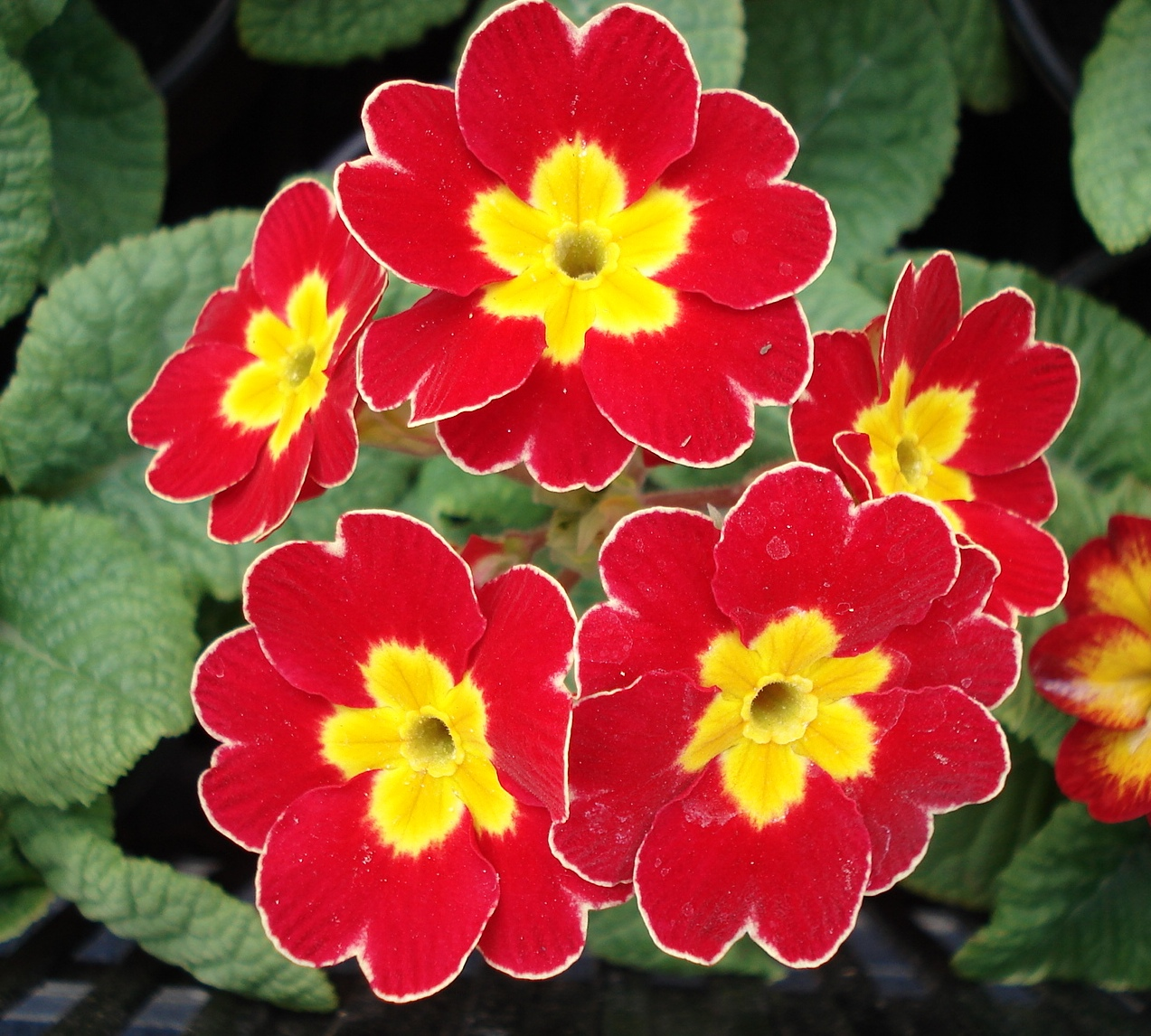 petrklíč (Primula x polyantha ´You And Me´) červený