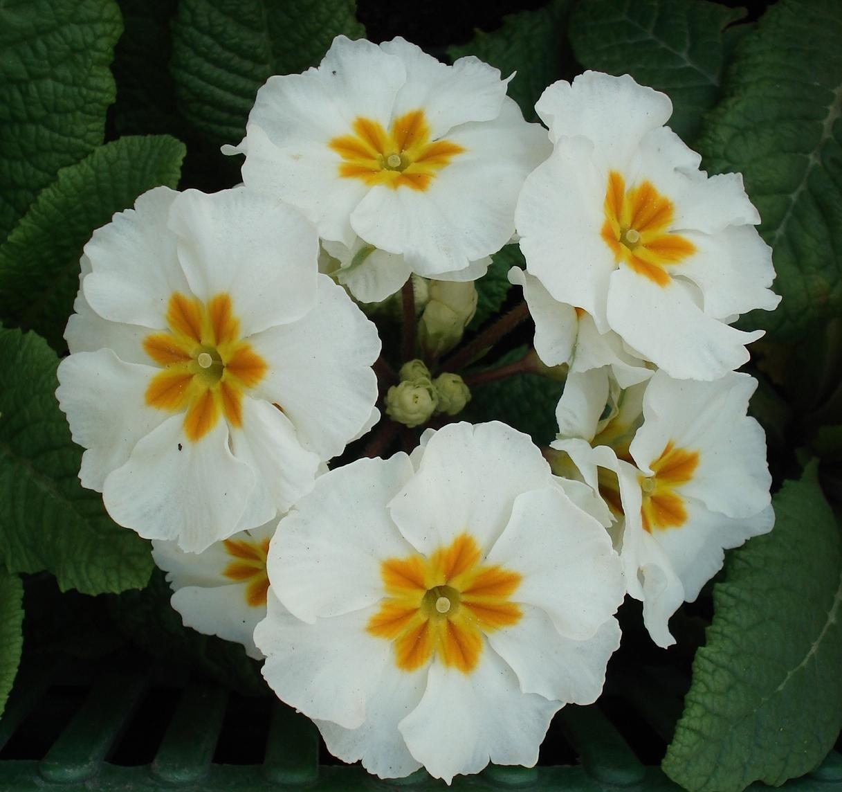 petrklíč (Primula x polyantha ´You And Me´) bílý