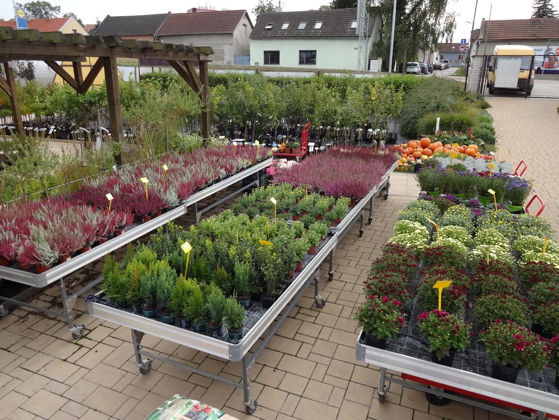 vřesy a chryzantémy, drátovec