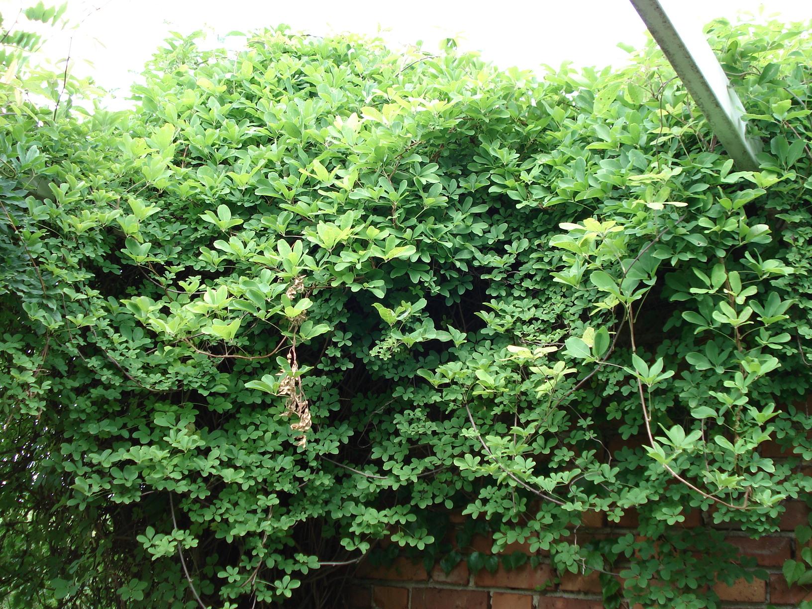 akébie (Akebia quinata)