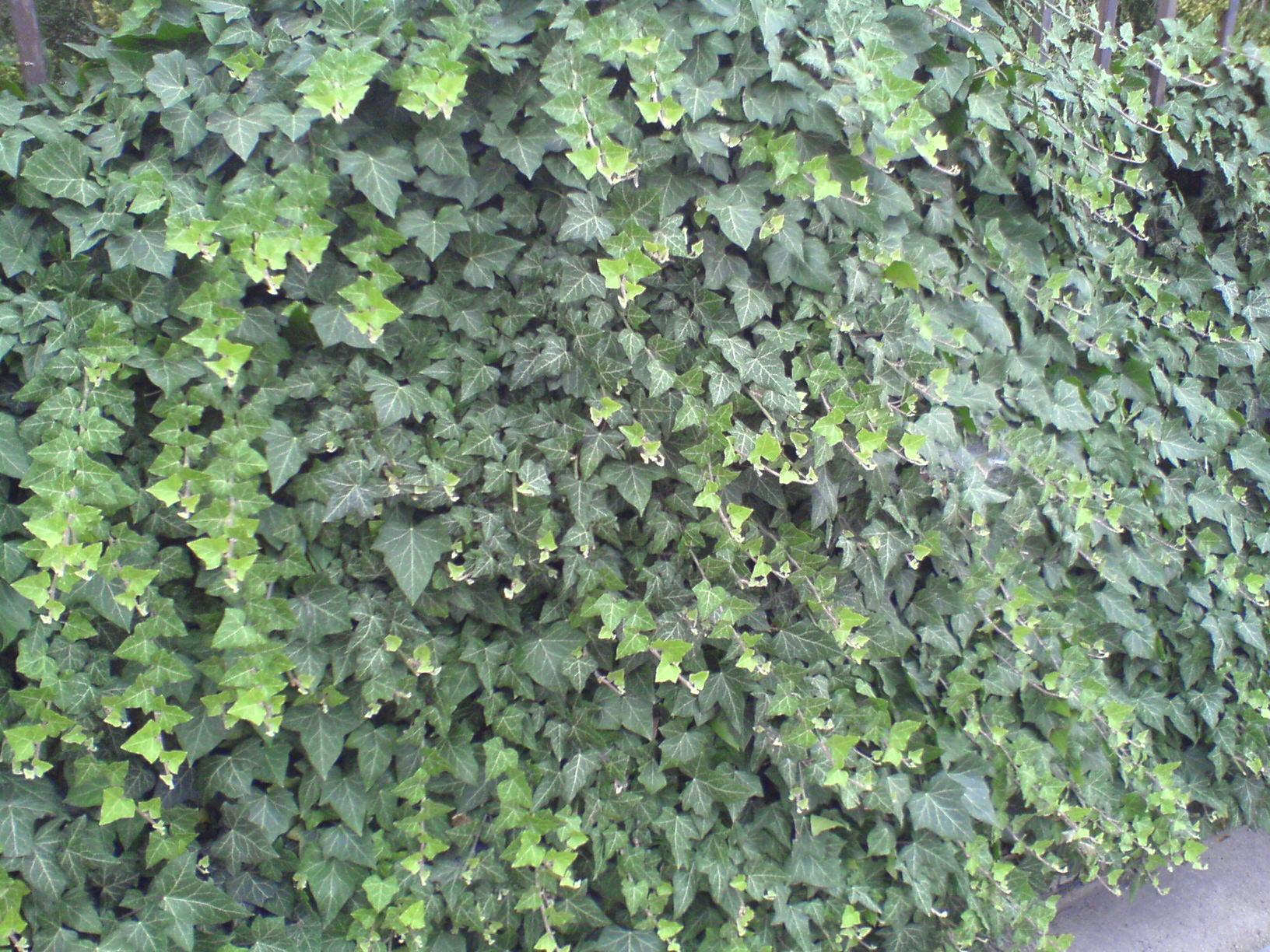 břečťan (Hedera helix)