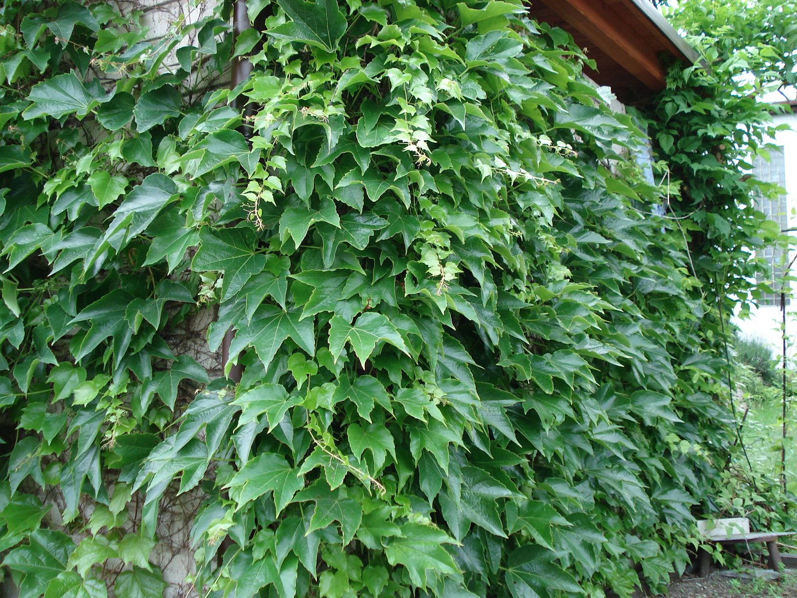 přísavník (Parthenocissus tricuspidata)