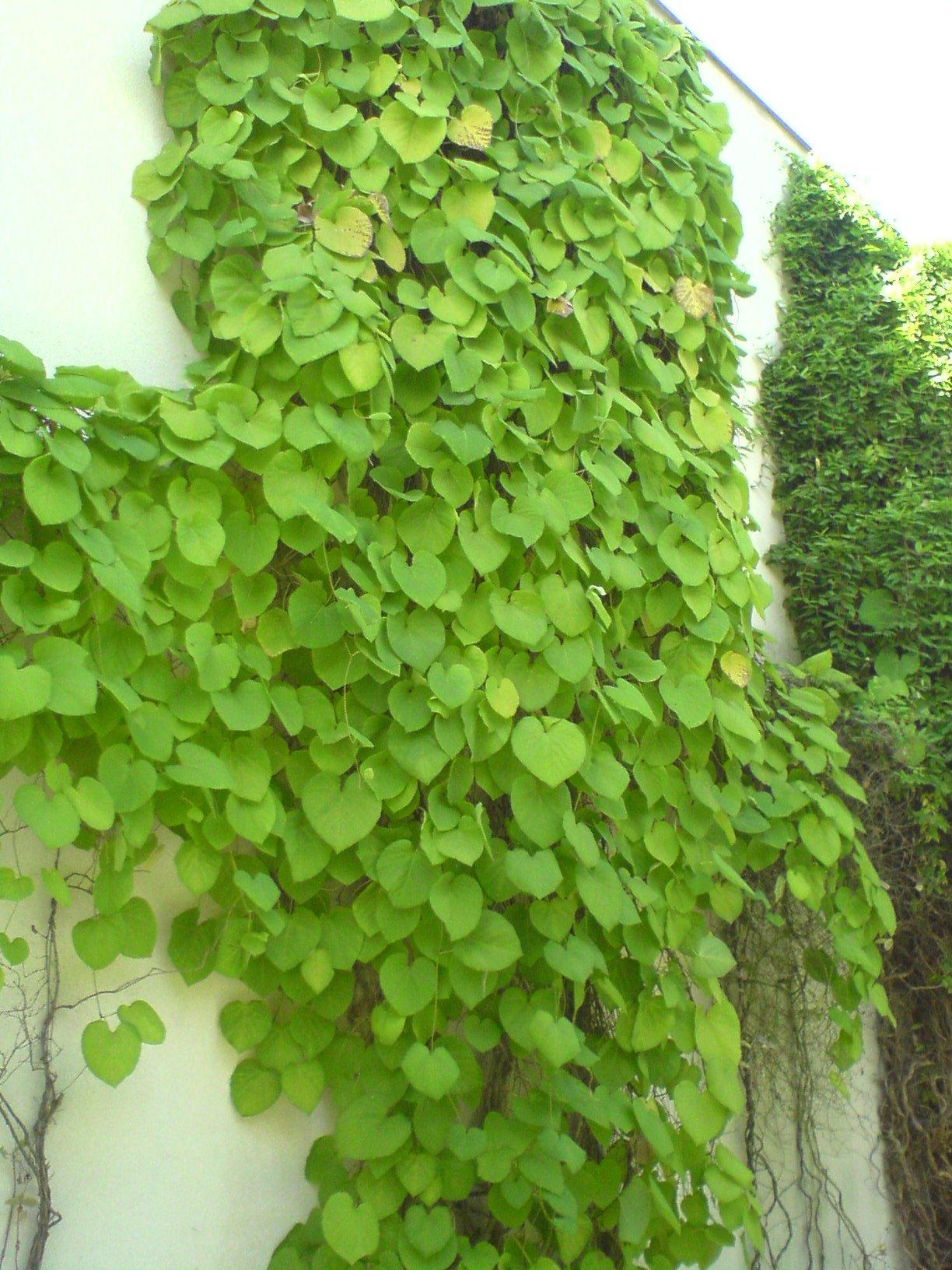 podražec (Aristolochia macrophylla)