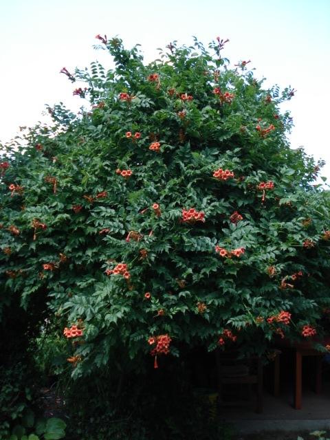 trubač (Campsis radicans)