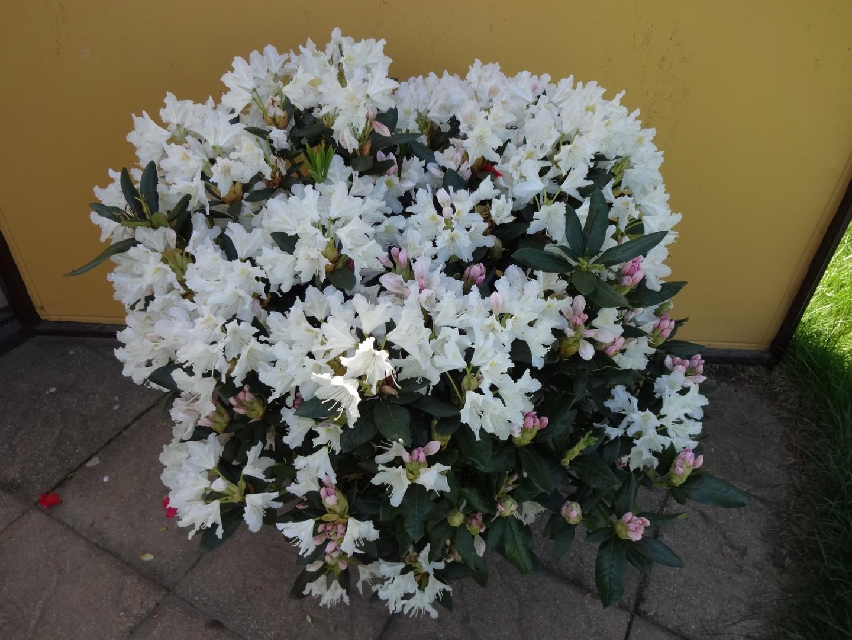 pěnišník (Rhododendron ´Cunningham´s White´)