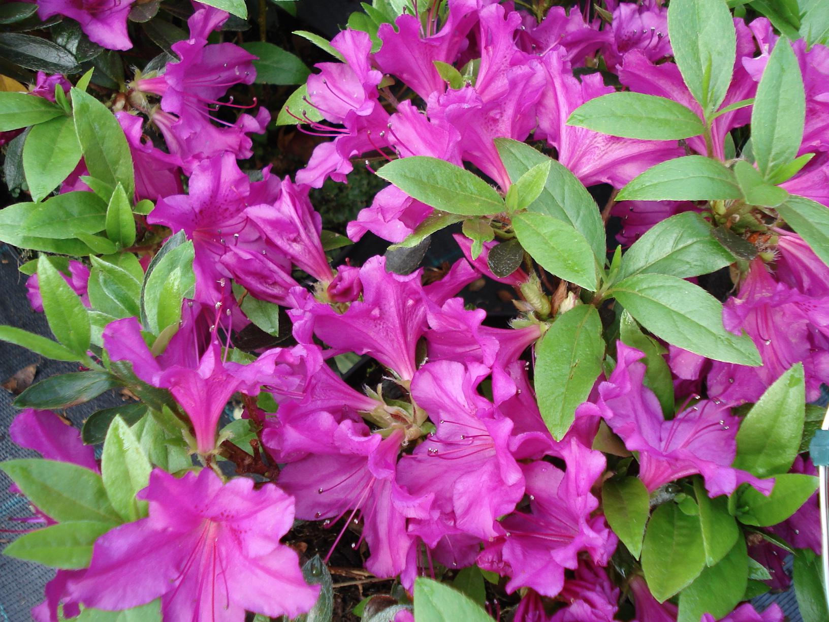azalka (Azalea japonica)