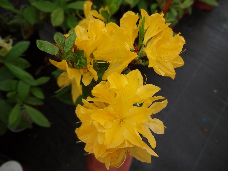 azalka opadavá (Azalea ´Princess Anne´)
