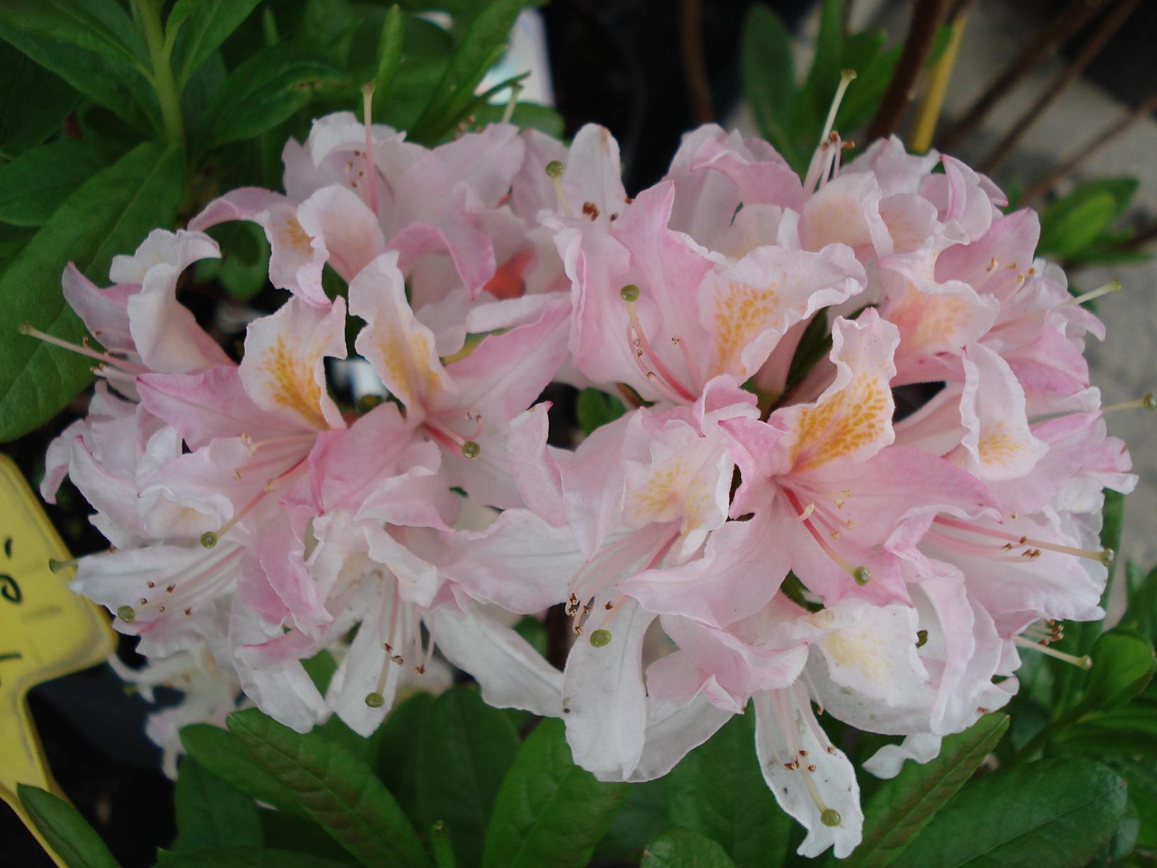 azalka opadavá (Azalea cv.)
