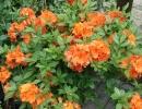azalka (Rhododendron ´Gibraltar´)