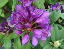 pěnišník (Rhododendron ´Marcel Menard´)