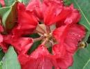 pěnišník (Rhododendron ´Red Jack´)
