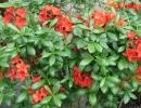azalka (Rhododendron ´Satan´)