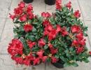 pěnišník (Rhododendron ´Baden Baden´)
