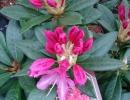 pěnišník (Rhododendron ´Cosmopolitan´)