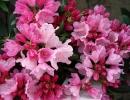 pěnišník (Rhododendron ´Kalinka´)