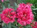 pěnišník (Rhododendron ´Nova Zembla´)