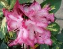 pěnišník (Rhododendron ´President Roosevelt´)