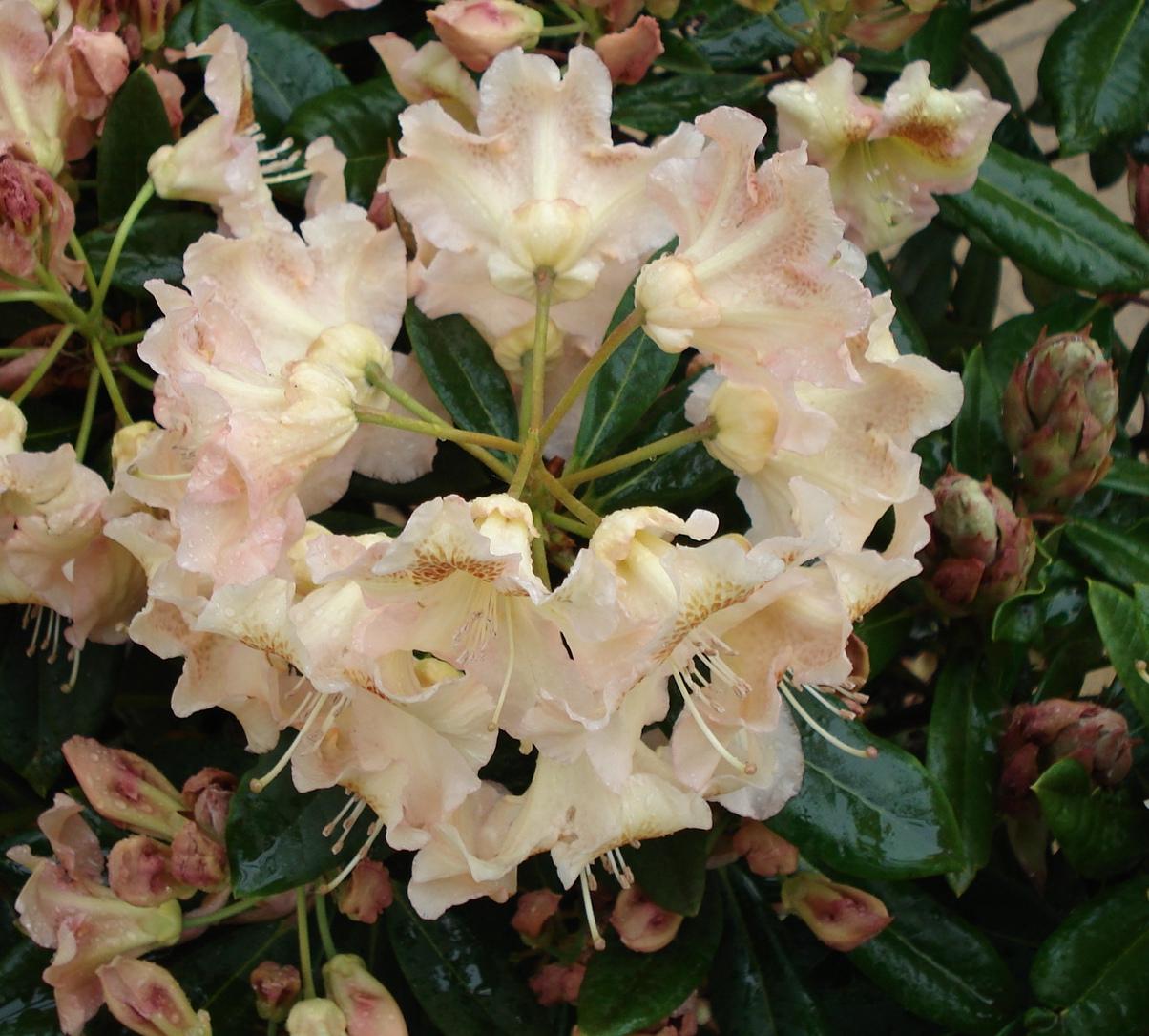 pěnišník (Rhododendron ´Bernstein´)