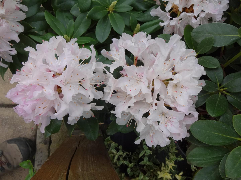 pěnišník (Rhododendron ´Cheer´)