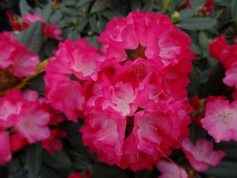 pěnišník (Rhododendron ´Fantastica´)