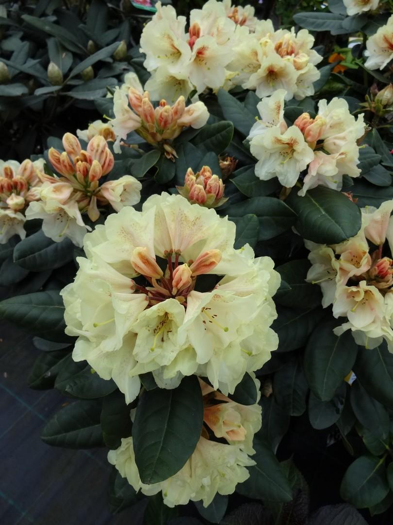 pěnišník (Rhododendron ´Goldbukett´)