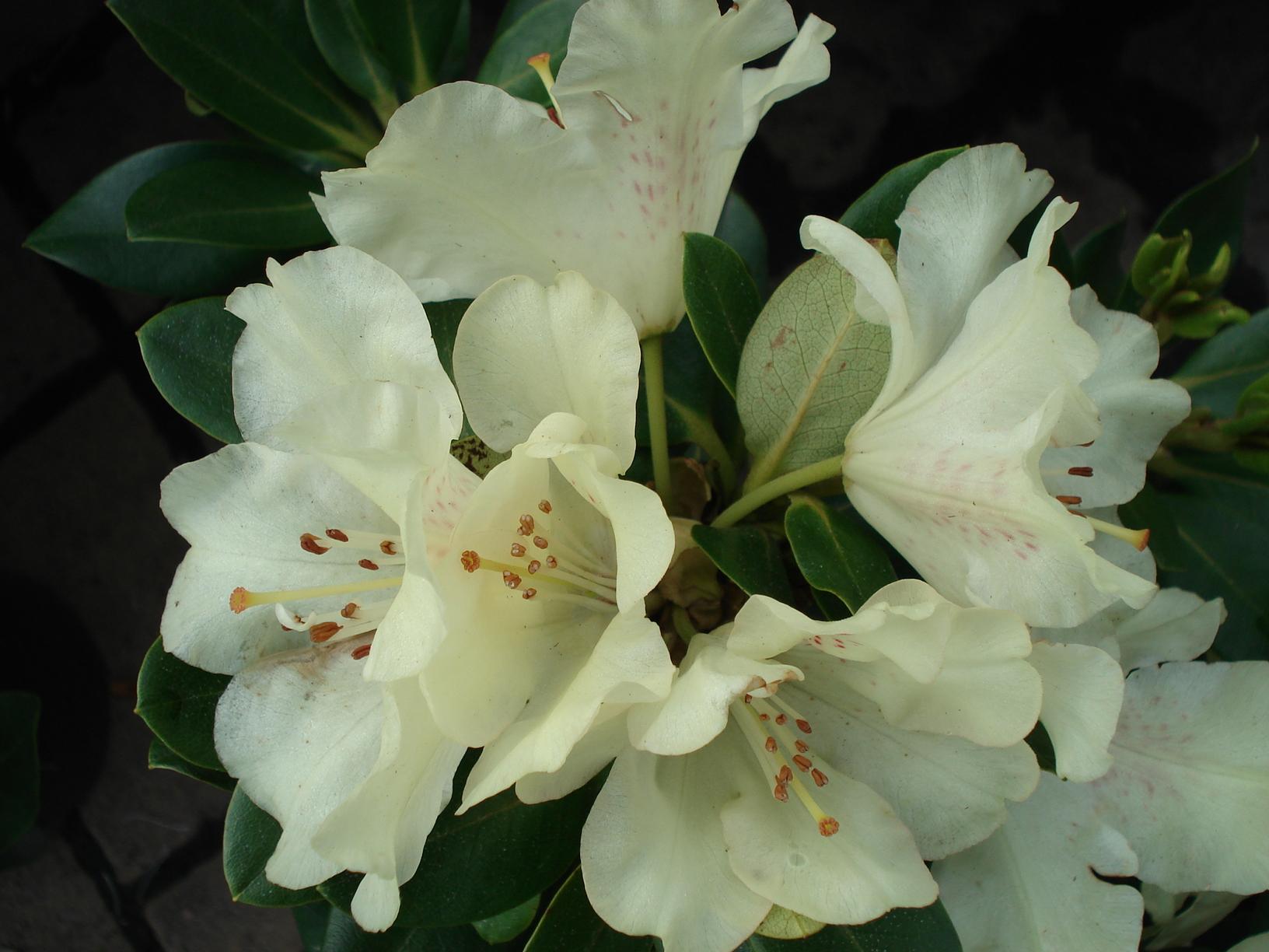 pěnišník (Rhododendron ´Goldkrone´)