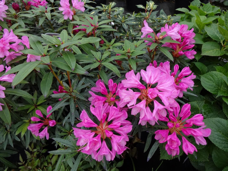 pěnišník (Rhododendron ´Graziella´)