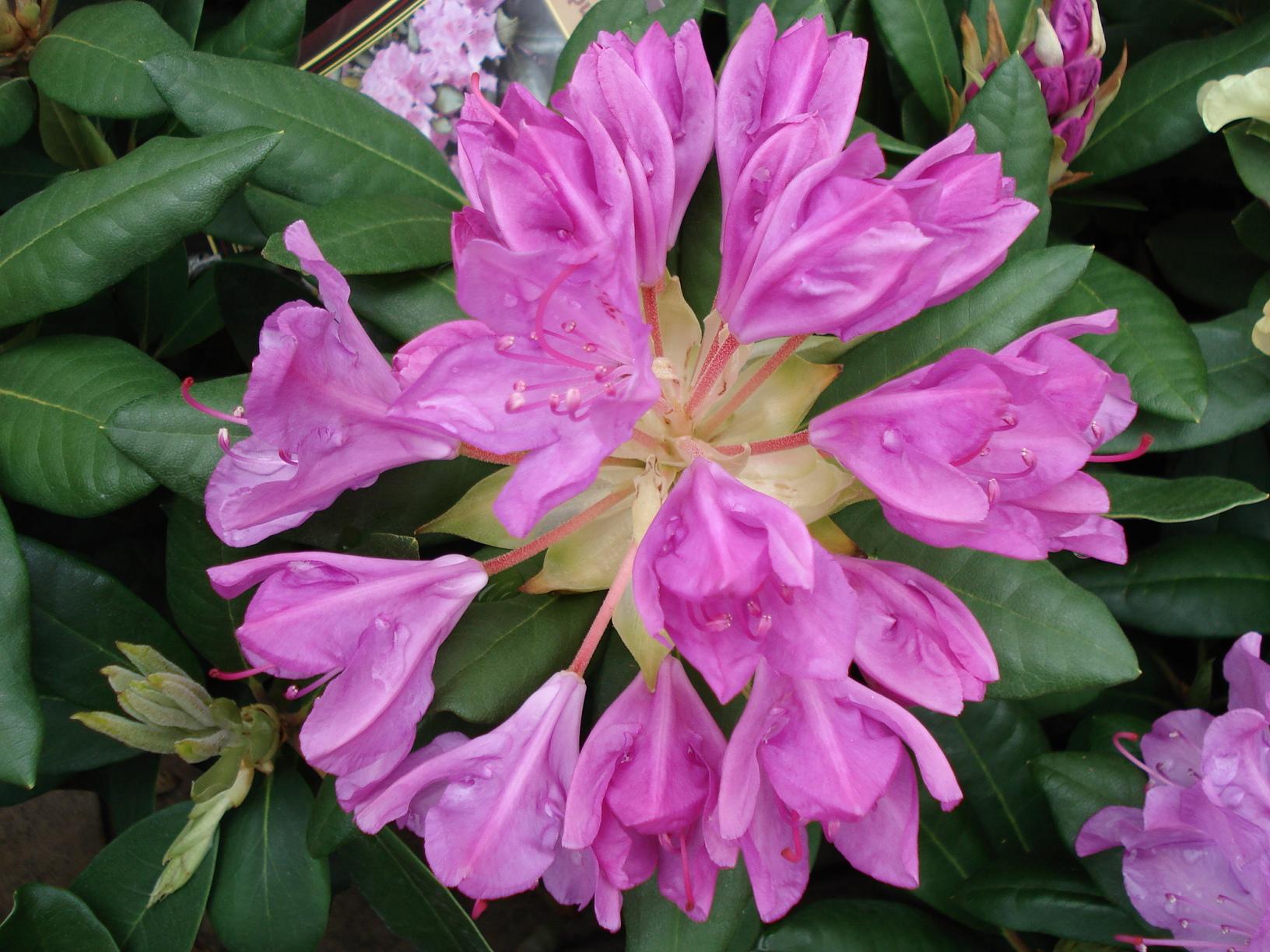pěnišník (Rhododendron ´Roseum Elegant´)