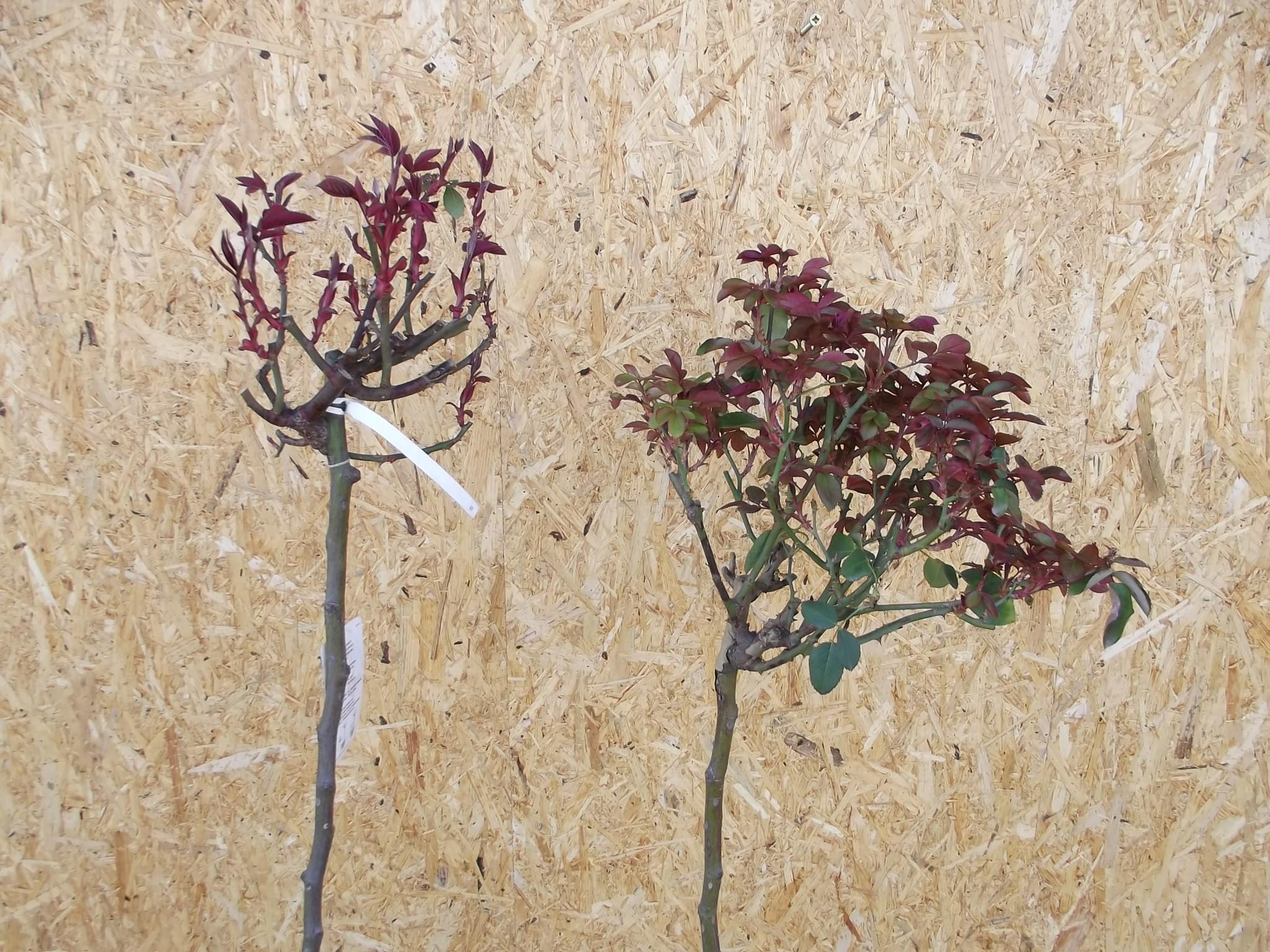 stromkové růže