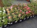 kontejnerované růže02