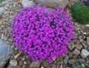 hvozdík (Dianthus ´Babí Lom´)