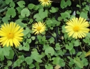 kamzičník (Doronicum orientale)