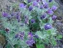 koniklec (Pulsatilla vulgaris)