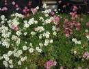 lomikámen (Saxifraga cvs.)