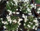 pochybek (Androsace sp.)