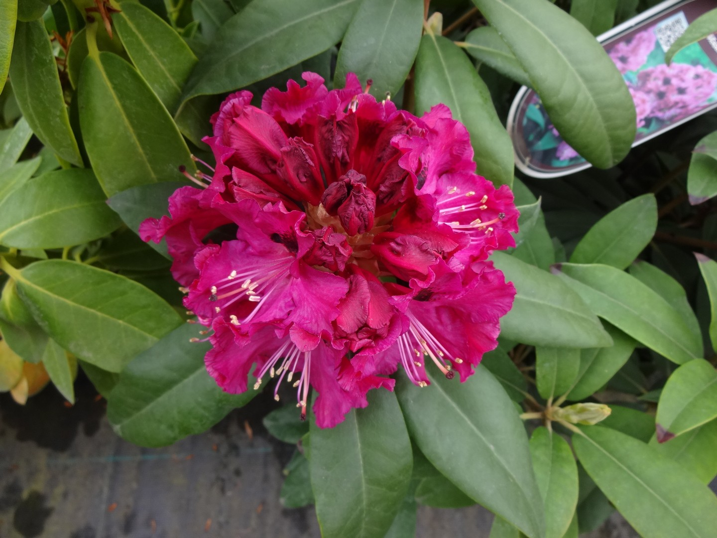 Rhododendron Madame Fortier