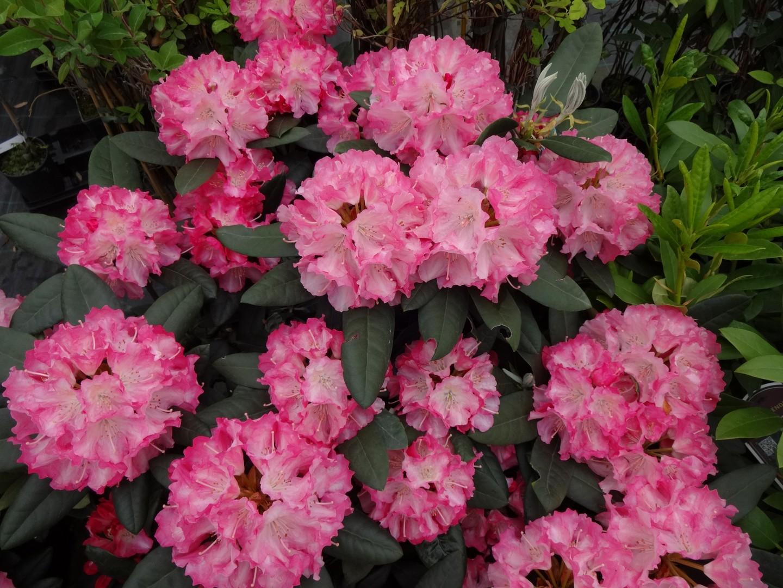 Rhododendron Marlis