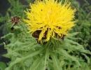 chrpa (Centaurea macrocephala)