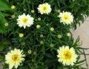 kopretina (Leucanthemum ´Goldfinch´)