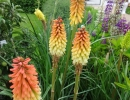 mnohokvět (Kniphofia ´Flamenco´)