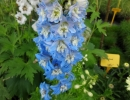 ostrožka (Delphinium ´Sky Blue-White Bee)