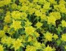 pryšec (Euphorbia segueriana)