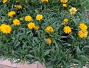 krásnoočko (Coreopsis)
